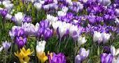 Bitte unterstützen Sie die Pflanzaktion, um einen Blütenteppich aus Frühlingsblumen zu schaffen.