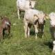 Rülpsen unsere Kühe zu viel?